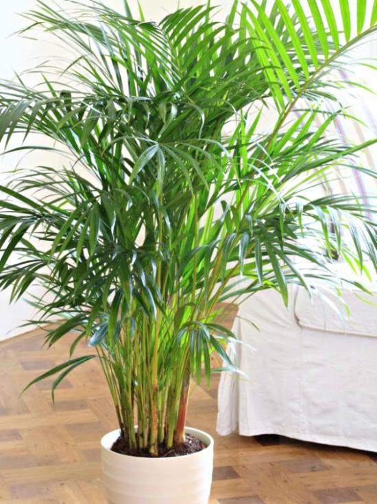 evin havasını en iyi temizleyen süs bitkileri bambu palmiyesi