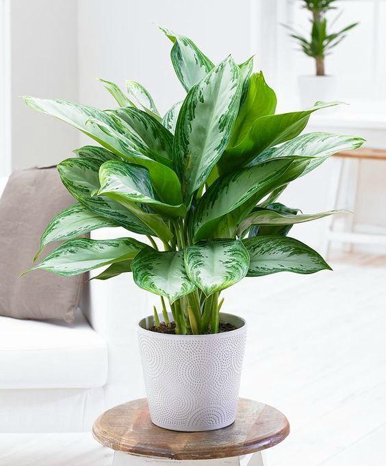 evin havasını en iyi temizleyen süs bitkileri çin her dem yeşili
