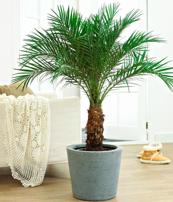 evin havasını en iyi temizleyen süs bitkileri cüce feniks