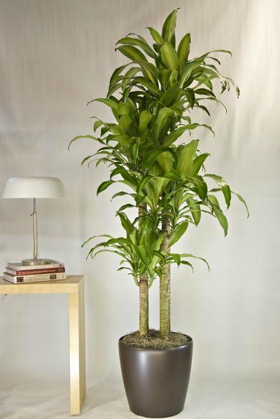 evin havasını en iyi temizleyen süs bitkileri draçena
