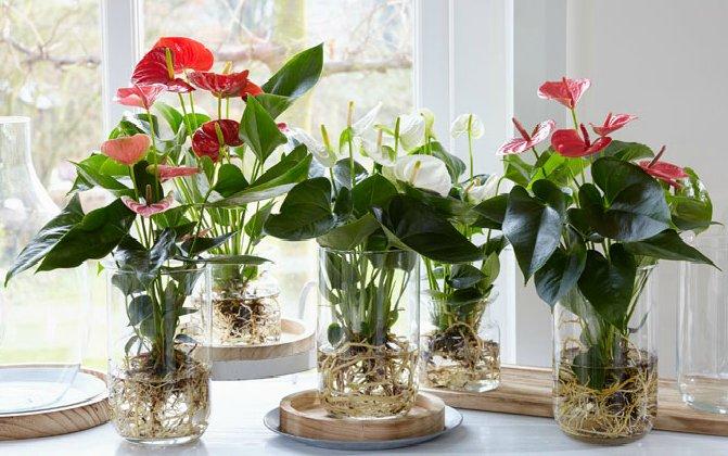 evin havasını en iyi temizleyen süs bitkileri flamingo çiçeği
