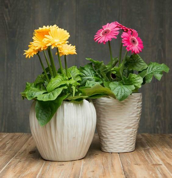evin havasını en iyi temizleyen süs bitkileri jerbera