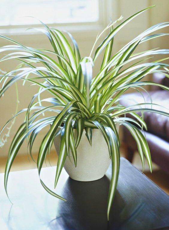 evin havasını en iyi temizleyen süs bitkileri kurdele cicegi