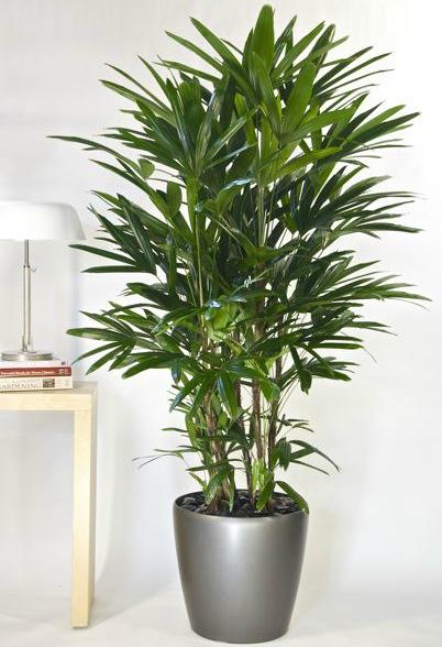 evin havasını en iyi temizleyen süs bitkileri salon palmiyesi