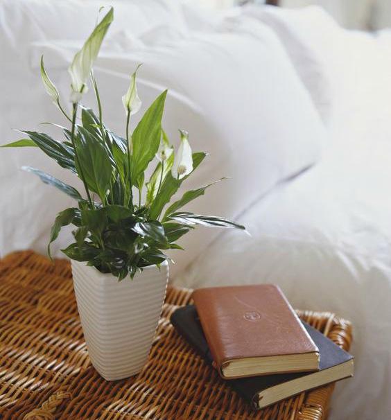 evin havasını en iyi temizleyen süs bitkileri yelken çiçeği